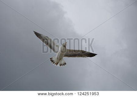 Gaivota em pleno voo num dia nublado em Setúbal.