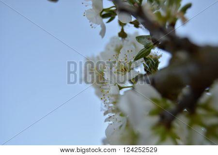 Flor de ameixoeira aberta no inicio da Primavera