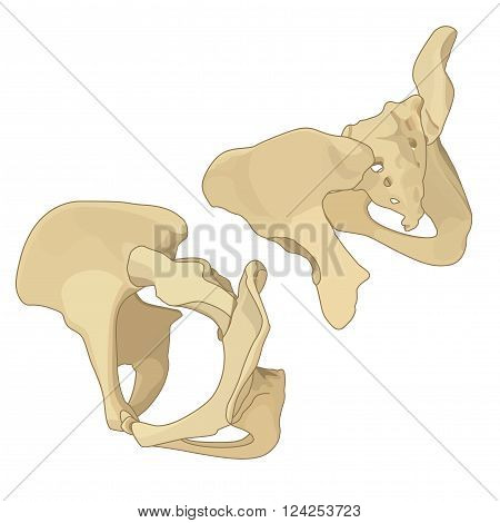 Coccyx and coxal bone isometric flat vector icons. Pelvis bone isometric vector illustration.