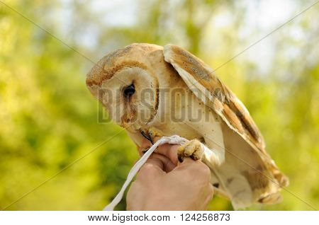 Barn owl standing on the human hands in forest