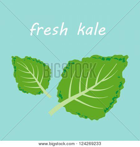 Fresh kale vector illustration. 10 eps vector illustration