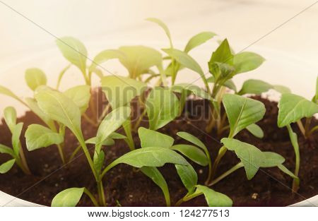 The seedling shoots lit with the sun. Young green plants for disembarkation to the soil. Close up light background small depth of sharpness