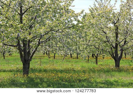 A cherry orchard in spring close to Traverse City, MI