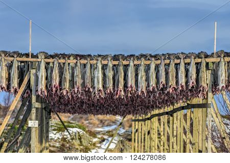 Stockfish (cod) in winter time in Gimsoy Lofoten Islands Norway.