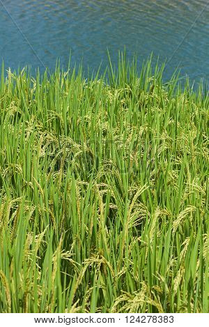 Paddy rice. Rice crop ready for harvest