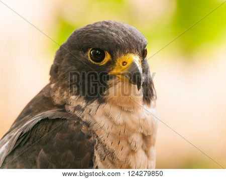 Head of peregrine falcon - Falco peregrinus  fastest animal in the world ** Note: Visible grain at 100%, best at smaller sizes