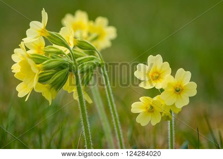 macro of primrose cowslip primula flower at garden grass in spring ** Note: Shallow depth of field