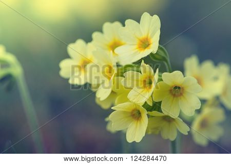blossoms of common cowslip flowers in vintage style ** Note: Shallow depth of field