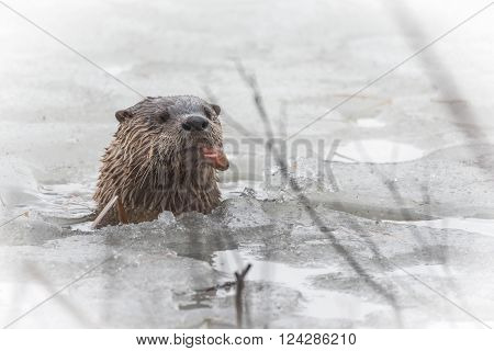 North American river otter (Lontra canadensis) in the wild.  Water mammal with wet fur, pops up out of an Eastern Ontario lake of ice & spring corn snow while eating a fresh frozen fish.