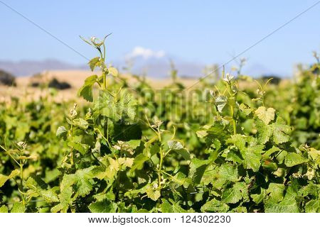 Grape vines growing in Marlborough New Zealand