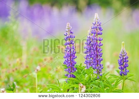 high lush purple lupine flowers summer meadow poster