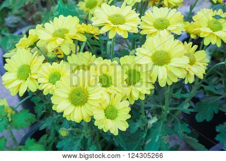 Shrubby Tree With Yellow Flowers