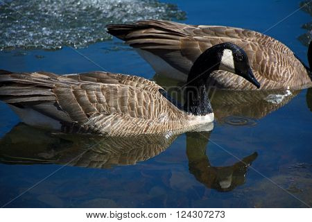 two Canada Geese swimming in a partially frozen pond with their reflections in the the water at Bower Ponds in Red Deer Alberta Canada