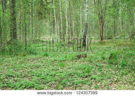 Wild forest covert. Nature trees in spring forest.