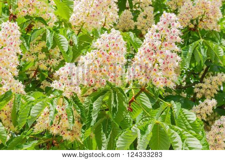 Background of panicles with flowers of horse-chestnuts among the branches and foliage