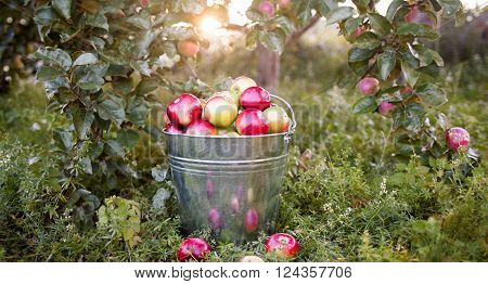 Full bucket with ripe apples  on tree branches background.