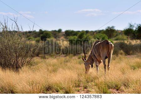 African wildlife. Great kudu male in the Kalahari desert at sunset time; Specie Kobus ellipsiprymnus family of bovidae