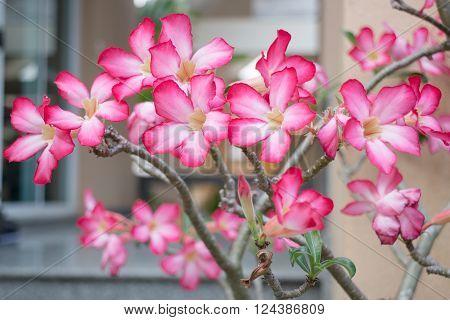 Beautiful pink azalea flowers plant, stock photo