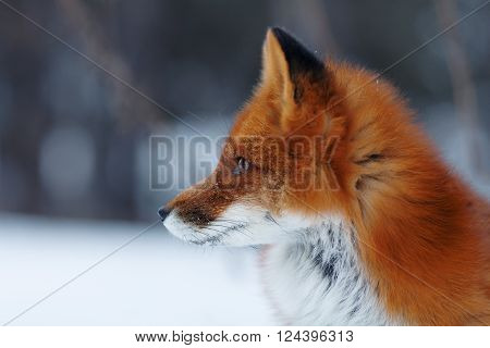 Portrait Of Nice Red Fox In Winter Forest