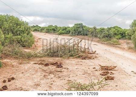 An uprooted shrub and dung is evidence that elephants passed by