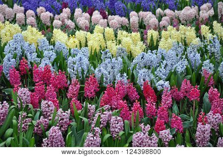 Colorful rows of spring hyacinth flowers on display