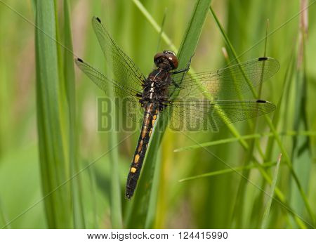 A beautiful juvenile Dot-tailed Whiteface dragonfly perches in the low vegetation of a Wisconsin wetland.