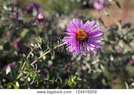 Violet aster flowers on meadow in september