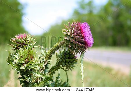 The flower head thistle Milk Thistle in full splendor