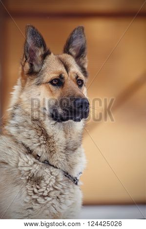 Portrait of a serious dog of breed sheep-dog.