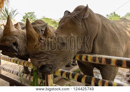 head white rhino munching grass in a zoo