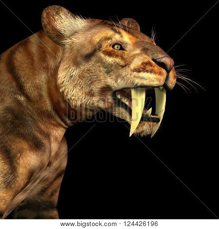 Saber-tooth Cat on Black 3D illustration - The Saber-tooth Cat also called Smilodon was a large predator that lived in the Eocene to Pleistocene Eras in North and South America.