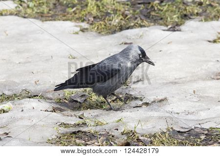 Jackdaw bird Corvus monedula on ground with ice selective focus shallow DOF.