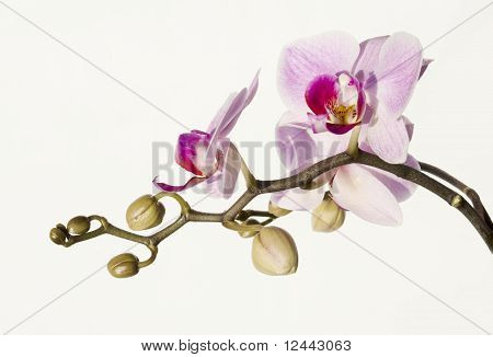 Phalaenopsis Isolated On White