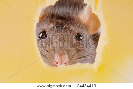 Closeup of eyes of a rat seen through a hole in cheese