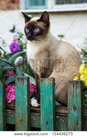Beautiful Siamese cat on the fence in the garden. Siamese cat on the fence. Cat in the garden.