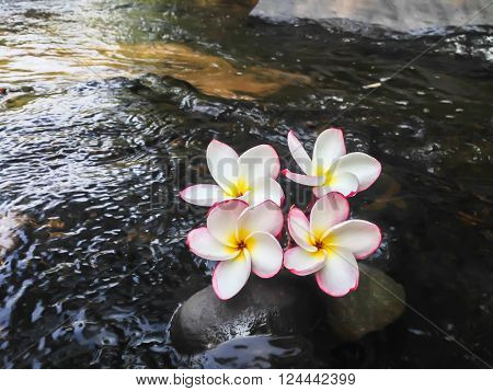 Beautiful Sweet Pink Flowers Frangipani Or Plumeria On The Waterfall Rock And River Background