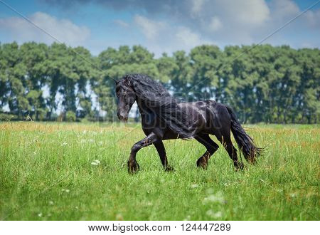 Black Frisian stallion runs on the green field