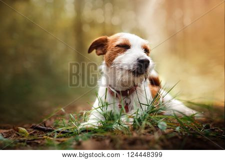 Dog Jack Russell Terrier walks in the park summer