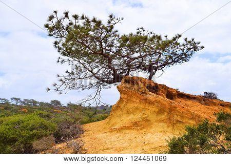 Lone pine tree taken at the Torrey Pines Reserve in La Jolla, CA
