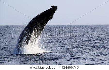 Pacific Humpback Whale Breaching Near San Diego