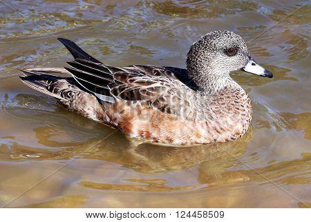 Female Wigeon Duck Hen Waterfowl Bird Blue Bill