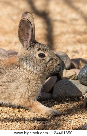 a cute young cottontail rabbit in arizona