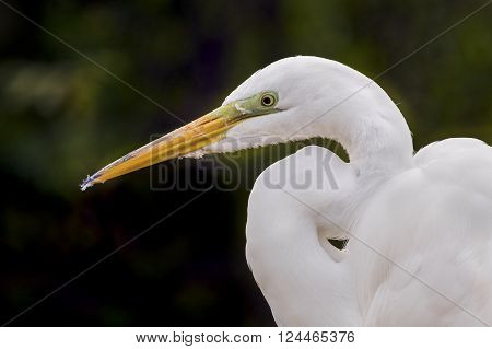 A great egret is viewed from the side while resting.