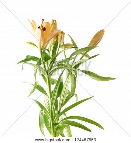 Yellow lily lilium flower isolated over the white background