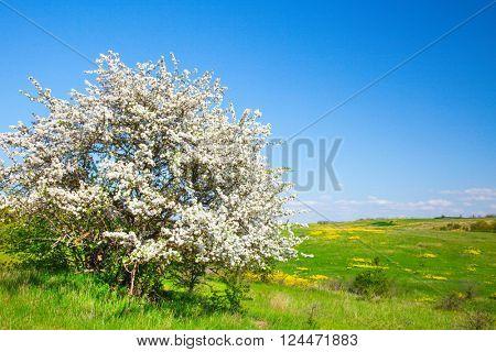Apple trees blossom under blue sky