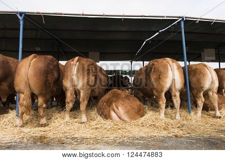 French Limousin bulls and cows in barn