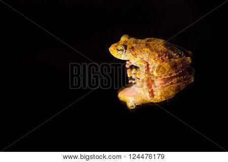 Pseudophilautus - Shrub frog from the family Rhacophoridae - Sniharaja rainforest Sri Lanka