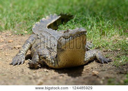 Crocodile on river coast. National park of Kenya, Africa