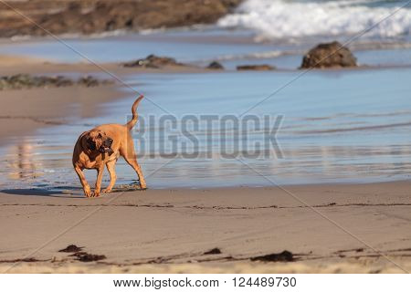 Bloodhound dog runs and plays along a beach in New England, Cape Cod, Massachusetts.