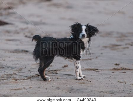 Black and white Papillon dog mix plays along the beach on Cape Cod.